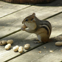 A squirrel and his nuts.